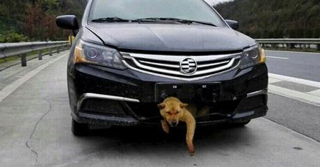 percut par une voiture un chien survit et fait 400 km dans la calandre voir. Black Bedroom Furniture Sets. Home Design Ideas