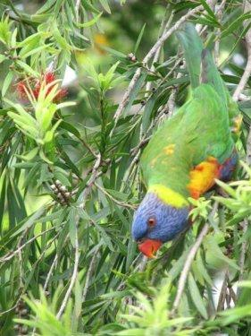 rainbow_lorikeet_upside_down.jpg