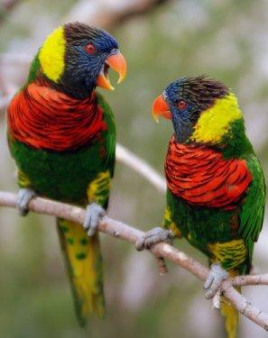 green_naped_lorikeets_mcdonough.jpg