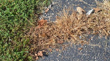 L'acide pélargonique agit en détruisant la cuticule qui recouvre, comme une peau, les tiges et les feuilles. En quelques heures la plante sèche et meurt. Crédit photo: Jim Fleenor sous licence Creative Commons.