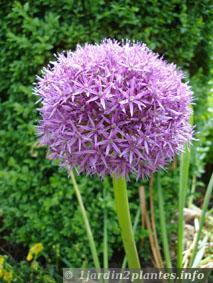 L'ail est une plante vivace à bulbes - À Lire