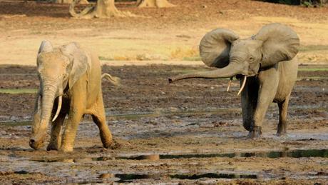 Les braconniers gagnent du terrain les éléphants tués en masse