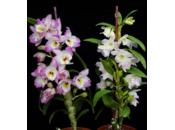 Quelle plante d'orchidée choisir pour fête Mères