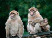 anglaise fait agresser sexuellement singes (Gibraltar)