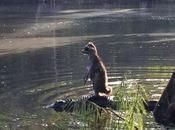 raton laveur cool alligator