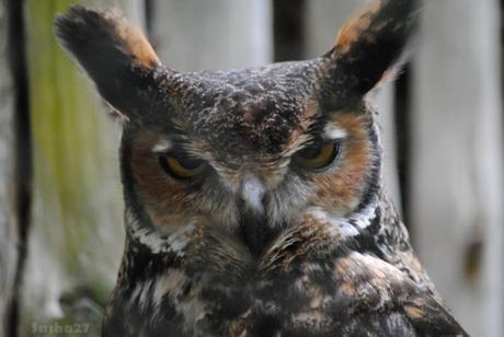 (1) Le hibou grand duc de Virginie.