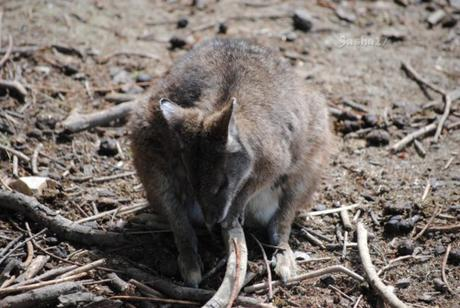 (5) Le wallaby de Bennett.