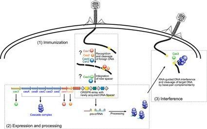 Immunité CRISPR