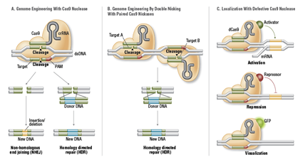 Système CRISPR/Cas9 Hybride