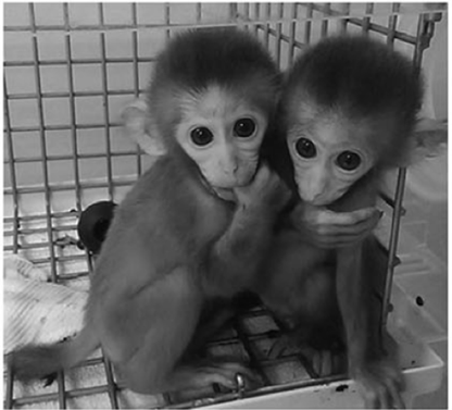 CRISPR chez les macaques crabiers