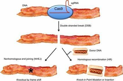 CRISPR bacon: a sizzling technique to generate   genetically engineered pigs