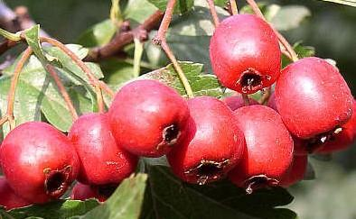 produits forestiers comestibles