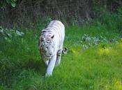 {animal semaine} Tigre Blanc Bengale.