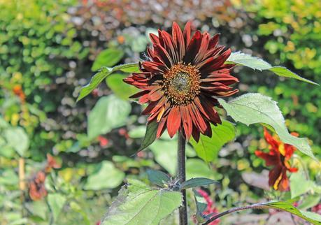 Fleur des jardins de Giverny