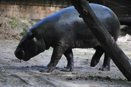 (4) L'hippopotame nain.