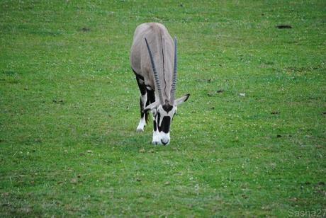 (3) L'oryx.