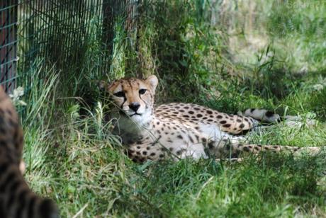 (9) Le guépard du Nord.