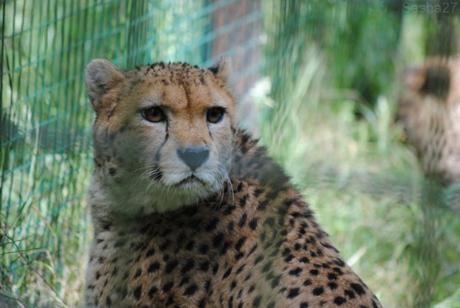 (8) Le guépard du Nord.