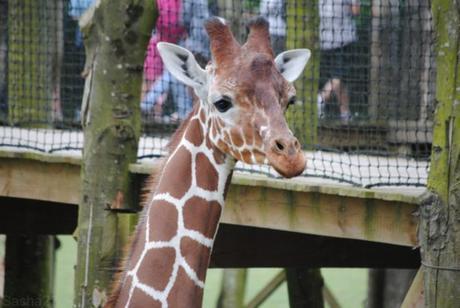 (4) La girafe.