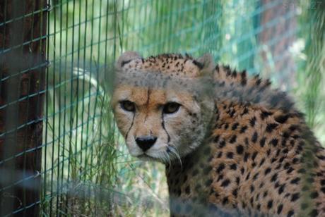 (6) Le guépard du Nord.