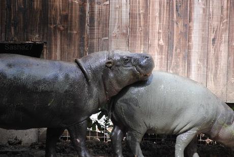 (6) L'hippopotame nain.