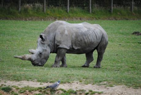(5) Le rhinocéros blanc.