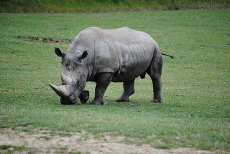 (6) Le rhinocéros blanc.