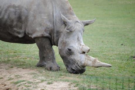 (3) Le rhinocéros blanc.