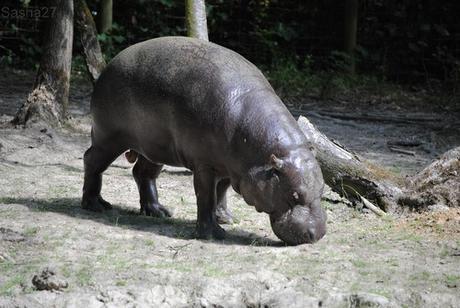 (11) L'hippopotame nain.