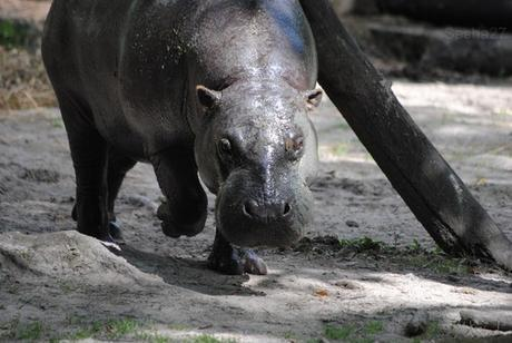 (8) L'hippopotame nain.
