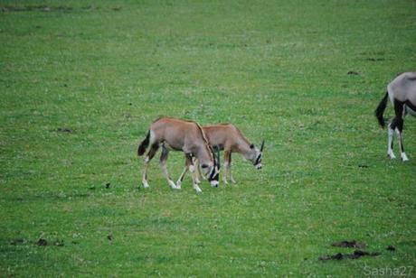 (2) L'oryx.
