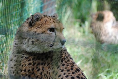 (7) Le guépard du Nord.