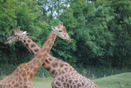 (9) La girafe.