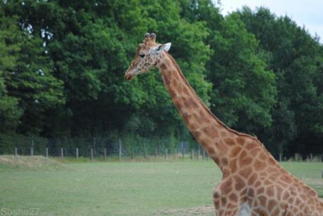 (1) La girafe.