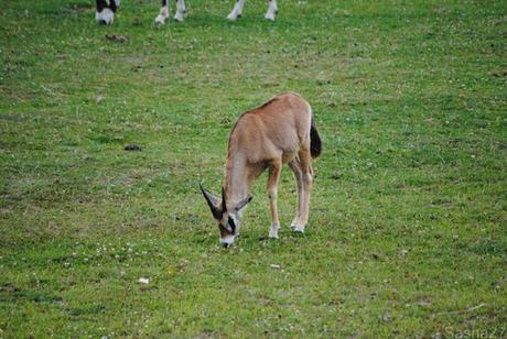 (4) L'oryx.