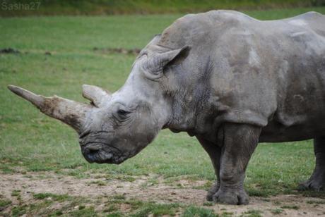 (1) Le rhinocéros blanc.