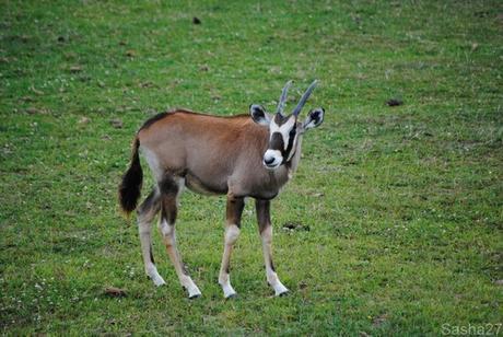 (9) L'oryx.