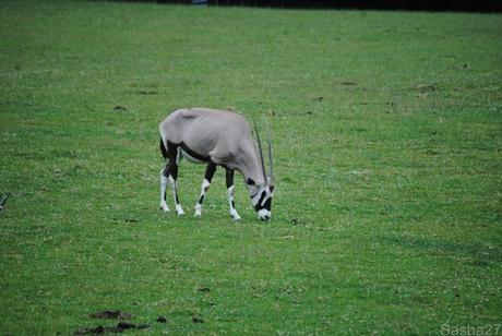 (1) L'oryx.