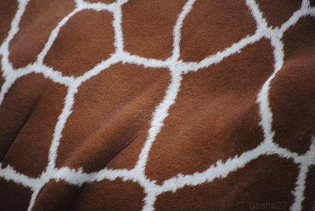 (5) La girafe.