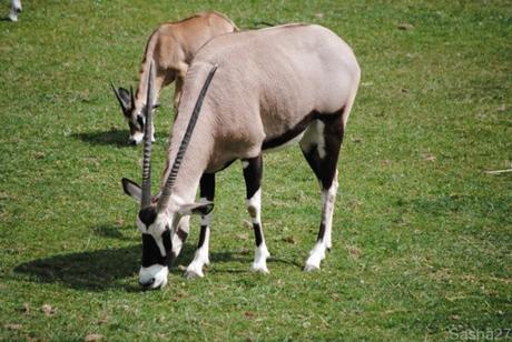(11) L'oryx.