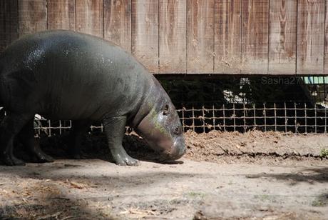 (1) L'hippopotame nain.