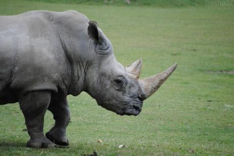 (7) Le rhinocéros blanc.