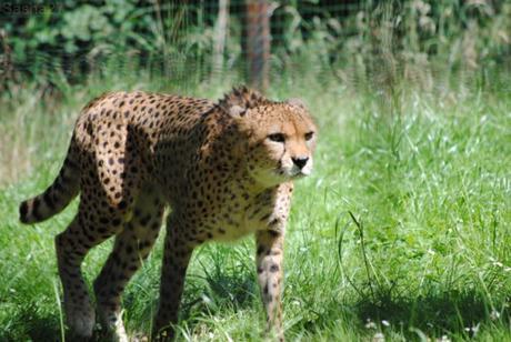 (2) Le guépard du Nord.