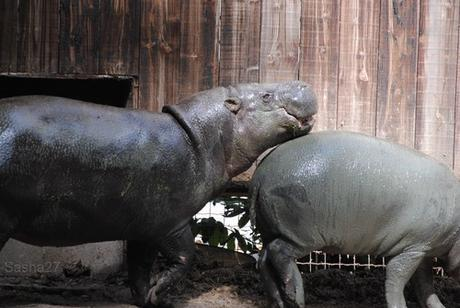 (5) L'hippopotame nain.