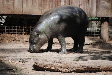 (2) L'hippopotame nain.