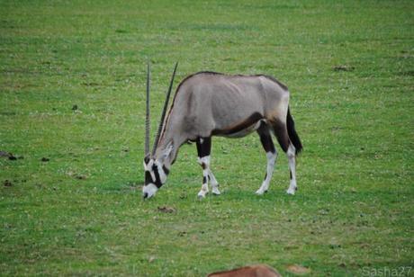 (7) L'oryx.