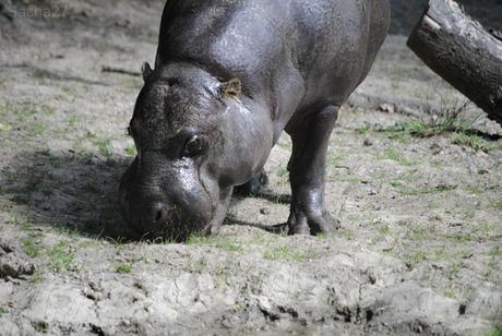 (3) L'hippopotame nain.