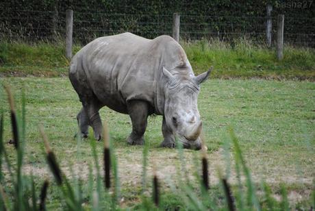 (4) Le rhinocéros blanc.