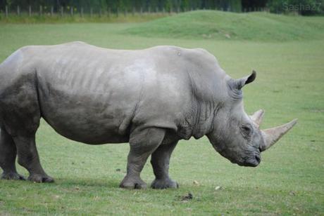 (8) Le rhinocéros blanc.