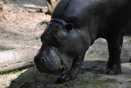(10) L'hippopotame nain.
